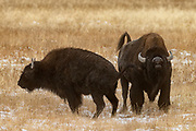 A bison (Bison bison) pees in view of another bison in a field in Yellowstone National Park, Wyoming.