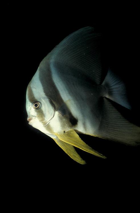 Longfin Spadefish (aka Longfin Batfish) (Platax teira), South Ari Atoll, Maldives