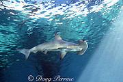 juvenile scalloped hammerhead shark, Sphyrna lewini  (c), Hawaii, USA