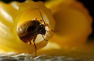 Deu, Deutschland: Deutsche Schabe (Blattella germanica) in einer Nudel | Deu, Germany: German cockroach (Blattella germanica) inside a noodle |