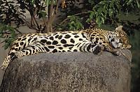 Jaguar en zoológico, Parque del Este, Caracas, Venezuela