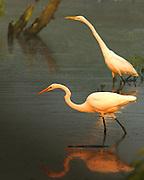 Great Egrets at Dawn