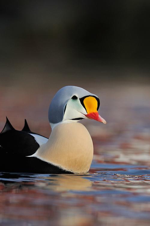 King eider duck male, Somateria spectabilis, Båtsfjord village harbour, Varanger Peninsula, Norway, Scandinavia