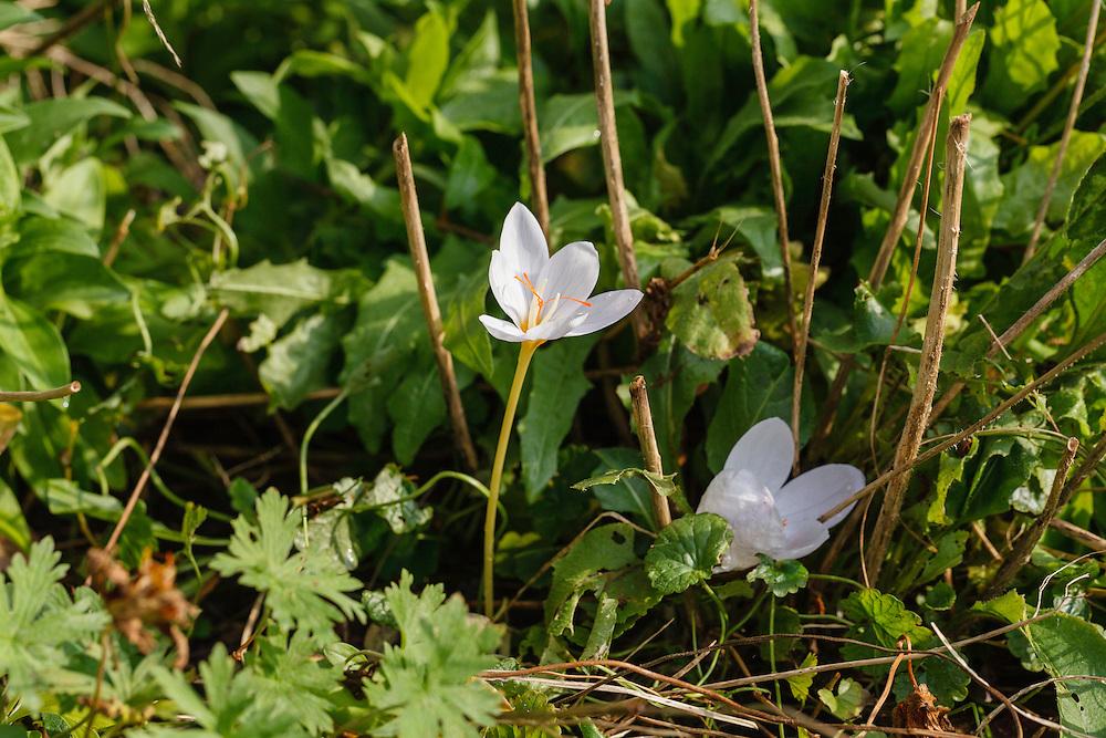 Crocus pulchellus, autumn flowering crocus