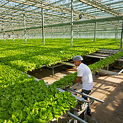 Green Butter lettuce to be harvested at Fresh2O Growers in Stevensburg, Virginia. The five-acre indoor greenhouse can grow about 6,000,000 heads of lettuce a year. Nathan Lambrecht/Journal Communications