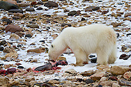 01874-12816 Polar bear (Ursus maritimus) eating Ringed Seal (Phoca hispida)  in winter, Churchill Wildlife Management Area, Churchill, MB Canada