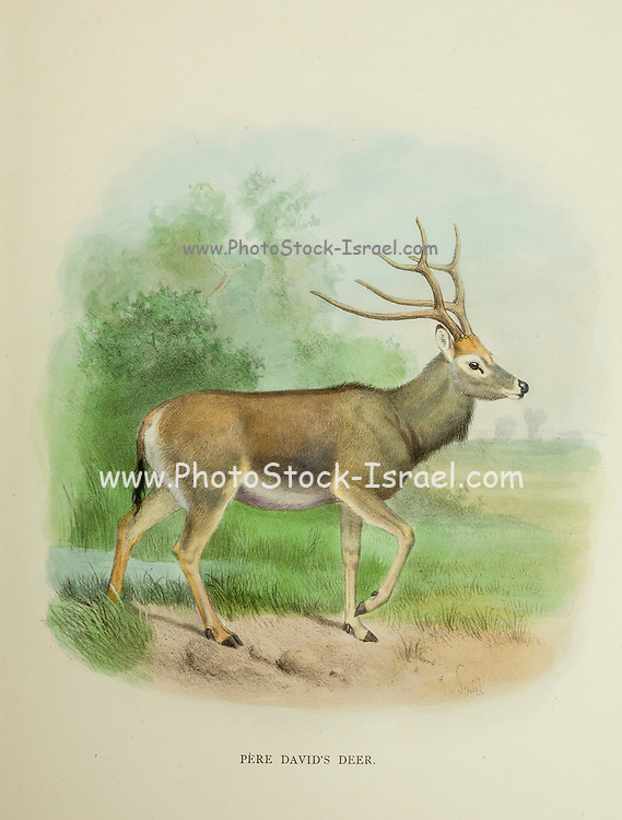 The Père David's deer (Elaphurus davidianus), also known as the milu or elaphure, is a species of deer native to the river valleys of China. from the book ' The deer of all lands : a history of the family Cervidae, living and extinct ' by Richard Lydekker, Published in London by Ward 1898