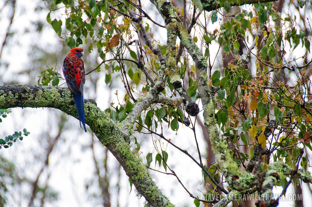 Crimson Rosella perched on a gum tree branch in the Australian bush