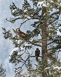 Young eagles taking shelter from the storm.  I love the textures poor weather can bring to an image. These are two immature Bald Eagles living in the Snake River Canyon near near Jackson Hole Wyoming