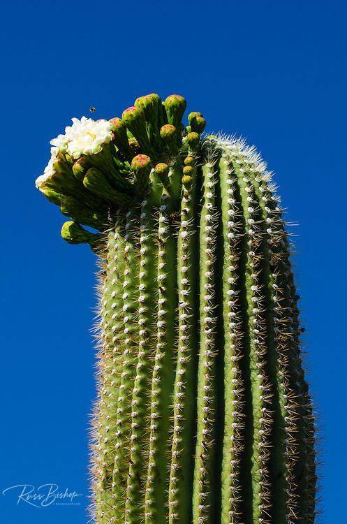 Saguaro cactus in bloom, Arizona-Sonora Desert Museum, Tucson, Arizona USA