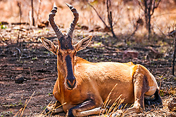 The Red Hartebeest is a large, reddish-fawn antelope with sloping back and long narrow face. Both sexes have heavily ringed horns. Of the 12 subspecies described in Africa, the Red Hartebeest is the only one which occurs in South Africa. Due to its re-introduction onto game farms and nature reserves, it has a wider distribution today.  Pilanesberg National Park