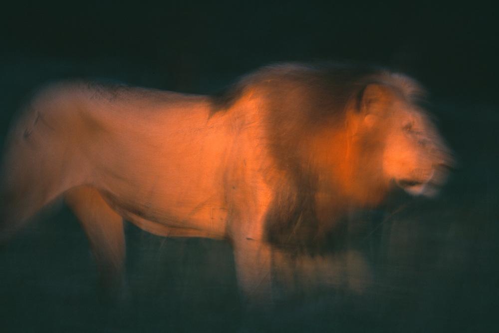 Lion, Panthera leo, male, Serengeti, Tanzania