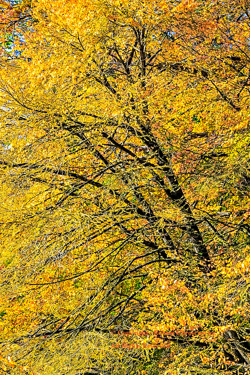 Yellow Fall: Trees take on the brilliant colouration of Autumn in Stanley Park, Vancouver British Columbia Canada.