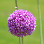 One of many spectacular pom poms growing in the Public Garden, Boston, MA