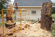 """Paul Stark of Oregon Studios carves a bear outside his workshop in Bethel on Aug. 8, 2013. The bear is one of two in a """"Dancing Bears"""" sculpture which will be displayed at The Chapin Estate. The second bear will be carved from the tree trunk at right."""