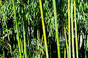 Close up of Bamboo plants in a grove. Photographed  at Aveiro city park, Aveiro, Portugal