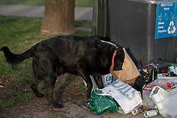 © Licensed to London News Pictures. 31/03/2021. London, UK. A a dog gets its head stuck in a paper bag next to overflowing bins in Greenwich Park after hundreds of people visited the park to enjoy sunny weather and take advantage of new lockdown rules that allow groups of six to meet outside. Photo credit: George Cracknell Wright/LNP