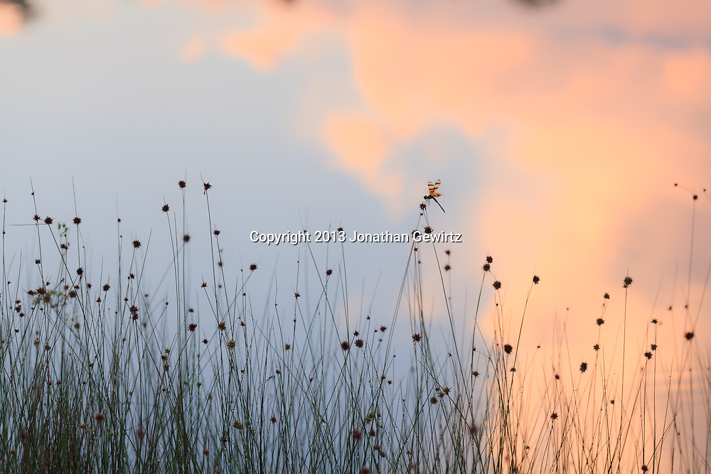 A dragonfly rests on reeds at Long Pine Key pond in Everglades National Park, Florida. WATERMARKS WILL NOT APPEAR ON PRINTS OR LICENSED IMAGES.