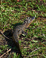 Baby (one-year old) Alligator at the pond at Clyde Butcher's Gallery. Winter Nature in Florida Image taken with a Fuji X-T2 camera and 100-400 mm OIS telephoto zoom lens (ISO 200, 165 mm, f/5.6, 1/220).