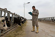 A worker makes a daily count of older calves kept in a pen at Austasia's No. 3 dairy farm in Dongying, Shandong Province, China on 31 October, 2013. By the end of 2014, the pan-Asian diary group will have invested more than $US300 million in China and have around 55,000 cattle in its herd. The rapidly increasing dairy demand from China is pushing global prices higher, especially after food safety scandals have wrecked consumer confidence in local Chinese producers, spelling ample opportunity for global producers.