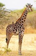 Giraffe with Oxpecker on its back, Grumeti, Tanzania