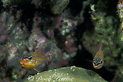 orange-lined cardinalfish, Apogon cyanosoma, <br /> just after spawning, male on left broods <br /> eggs in mouth; female on right will soon leave,<br /> Mabul Island, Sabah, Borneo, Malaysia