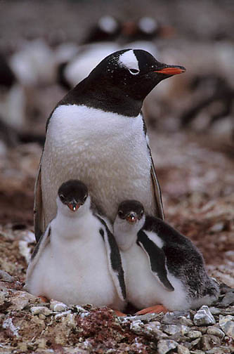 Gentoo Penguin, (Pygoscelis papua) Adult and chicks on nest. Falkland Islands.