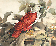 The brahminy kite (Haliastur indus), formerly known as the red-backed sea-eagle in Australia, is a medium-sized bird of prey in the family Accipitridae, which also includes many other diurnal raptors, such as eagles, buzzards, and harriers. They are found in the Indian subcontinent, Southeast Asia, and Australia. They are found mainly on the coast and in inland wetlands, where they feed on dead fish and other prey. Adults have a reddish-brown body plumage contrasting with their white head and breast which make them easy to distinguish from other birds of prey. 18th century watercolor painting by Elizabeth Gwillim. Lady Elizabeth Symonds Gwillim (21 April 1763 – 21 December 1807) was an artist married to Sir Henry Gwillim, Puisne Judge at the Madras high court until 1808. Lady Gwillim painted a series of about 200 watercolours of Indian birds. Produced about 20 years before John James Audubon, her work has been acclaimed for its accuracy and natural postures as they were drawn from observations of the birds in life. She also painted fishes and flowers. McGill University Library and Archives