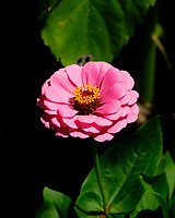 Zinnia. Image taken with a Fuji X-H1 camera and 80 mm f/2.8 macro lens