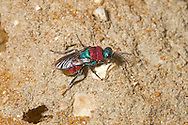 Jewel or Ruby-tailed Wasp - Hedychrum niemelai - female near burrow of Cerceris arenaria, one of its host species