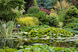 Pond with water lilies and 'jetty'. Carex elata 'Aurea' and gunnera on the bank beyond