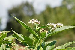 Kruidvlier, Sambucus ebulus