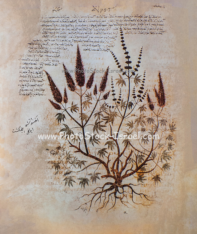 Hand drawn Vitex agnus-castus from a Byzantine manuscript Aniciae Julianae Codex ca. 512. AKA vitex, chaste tree and Abraham's balm