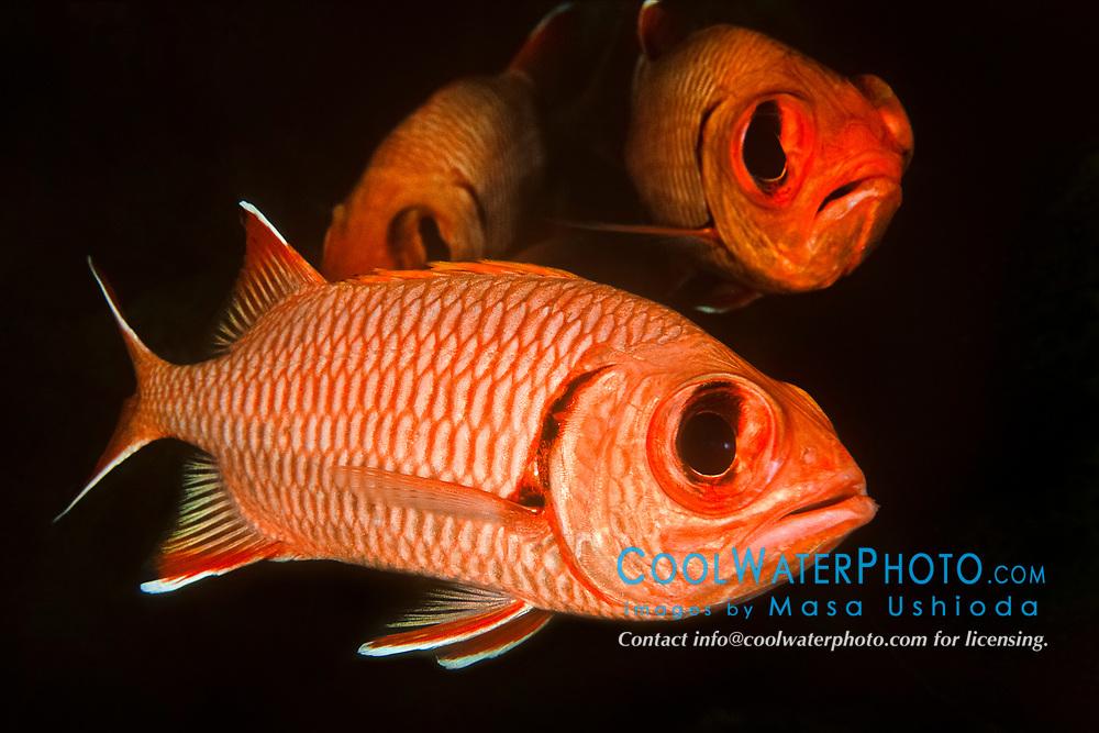 bigscale soldierfish or blotcheye soldierfish, Myripristis berndti, Kailua Bay, Kona Coast, Big Island, Hawaii, USA, Pacific Ocean