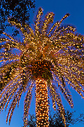 Palm tree covered in fairy lights for Christmas in historic Marion Square in Charleston, South Carolina.