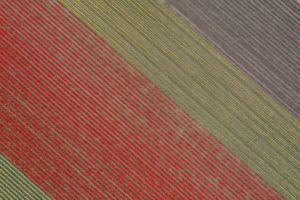 United States, Washington, Mount Vernon, rows of color at tulip farm (aerial view)