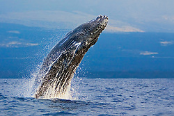 Humpback Whale calf, breaching with eyes wide-open - typical behavior of calves, Megaptera novaeangliae, Hawaii, Pacific Ocean.