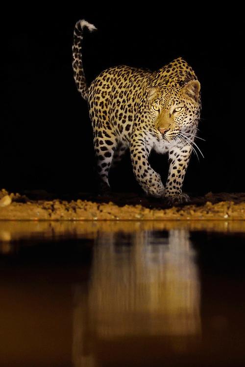 African Leopard, Panthera pardus pardus, Zimanga Private Nature Reserve, KwaZulu Natal, South Africa