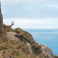 A deer at Point Reyes Lighthouse, CA