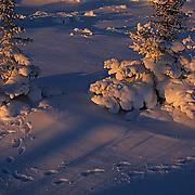 Black Spruce forest in late evening light near Churchill, Manitoba. Canada. Fox tracks through forest.