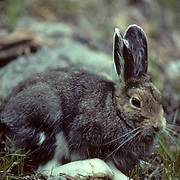 Snowshoe Hare, (Lepus americanus) Hiding under fallen timber. Early summer.