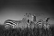 Zebras just after sunset. They stand so close together they are touching. Flash was used in this photograph with a flash extender. This was shot from a land rover truck, supported with a bean bag.Sun was going down and it quickly got dark it was nearly time to head back in because of the park rules.