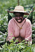 A smiling woman in a pink shirt picking tea leaves on the plantation of the Tshivhase Tea Estate in Venda (North Transvaal), South Africa.