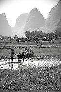 Farmer working with his buffalo in the rice fields of Yangshuo's countryside