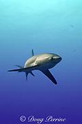 subadult pelagic thresher shark or fox shark, Alopias pelagicus, Monad Shoal, off Malapascua, Cebu, Philippines  ( Visayan Sea, Western Pacific Ocean )