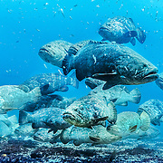 Goliath Grouper gather in large aggregations to mate in Tropical West Atlantic; picture taken Jupiter, FL.