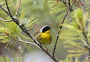 Common Yellowthroat at the bog