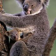 Koala, (Phascolarctos cinereus) Mother and newborn baby. Australia.  Captive Animal.
