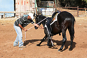 Horse training Teaching the horse to kneel