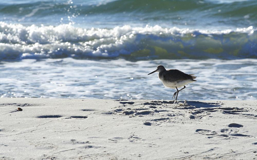 Sandpiper, St. Joseph Peninsula State Park, Gulf County, FL